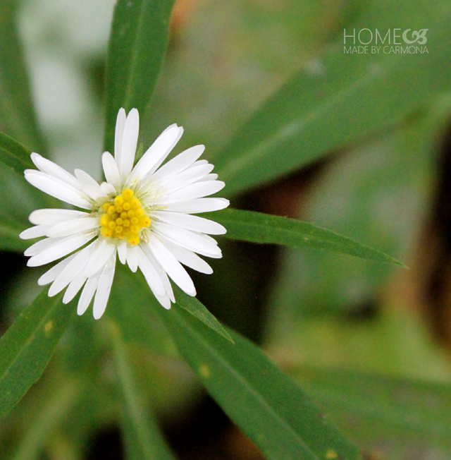 Fall Backyard - little white flower