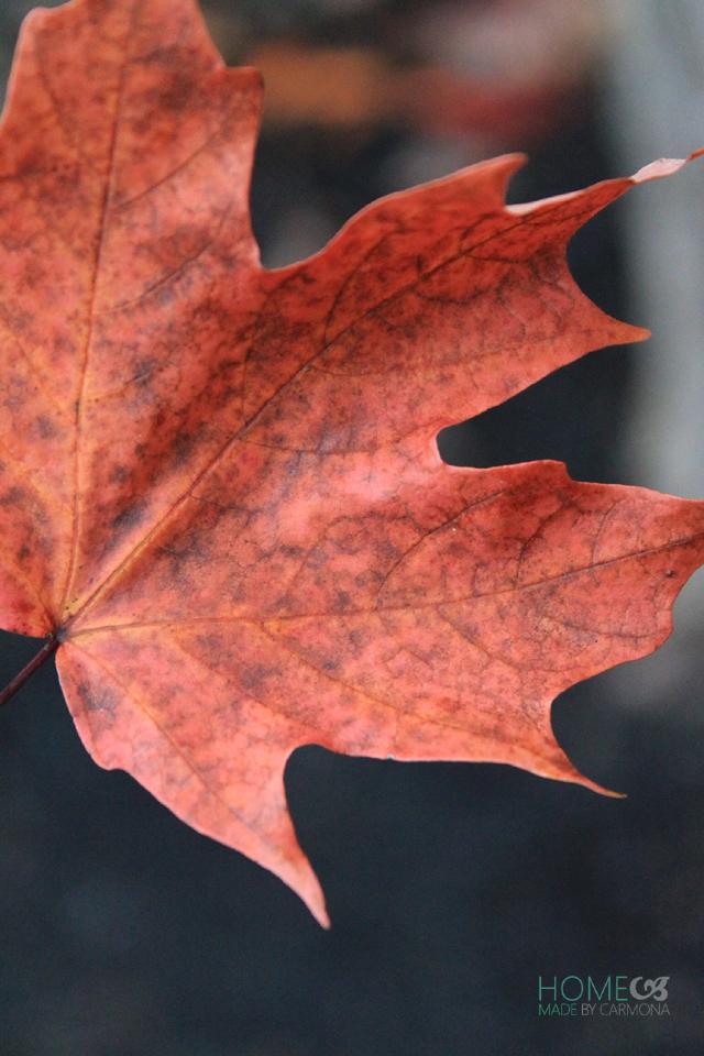 Fall yard tour - Maple leaf