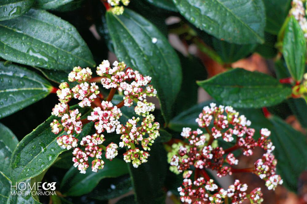 Petite Plum Ninebark- Monrovia Plant