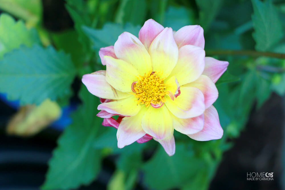 Monrovia flower