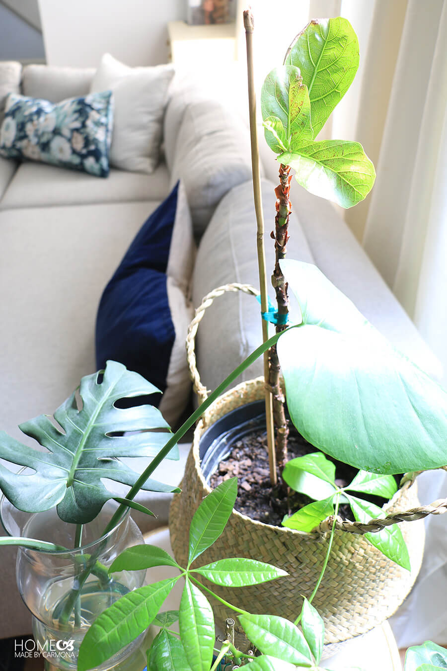 Recovering-Fiddle-Leaf-Fig-Plant