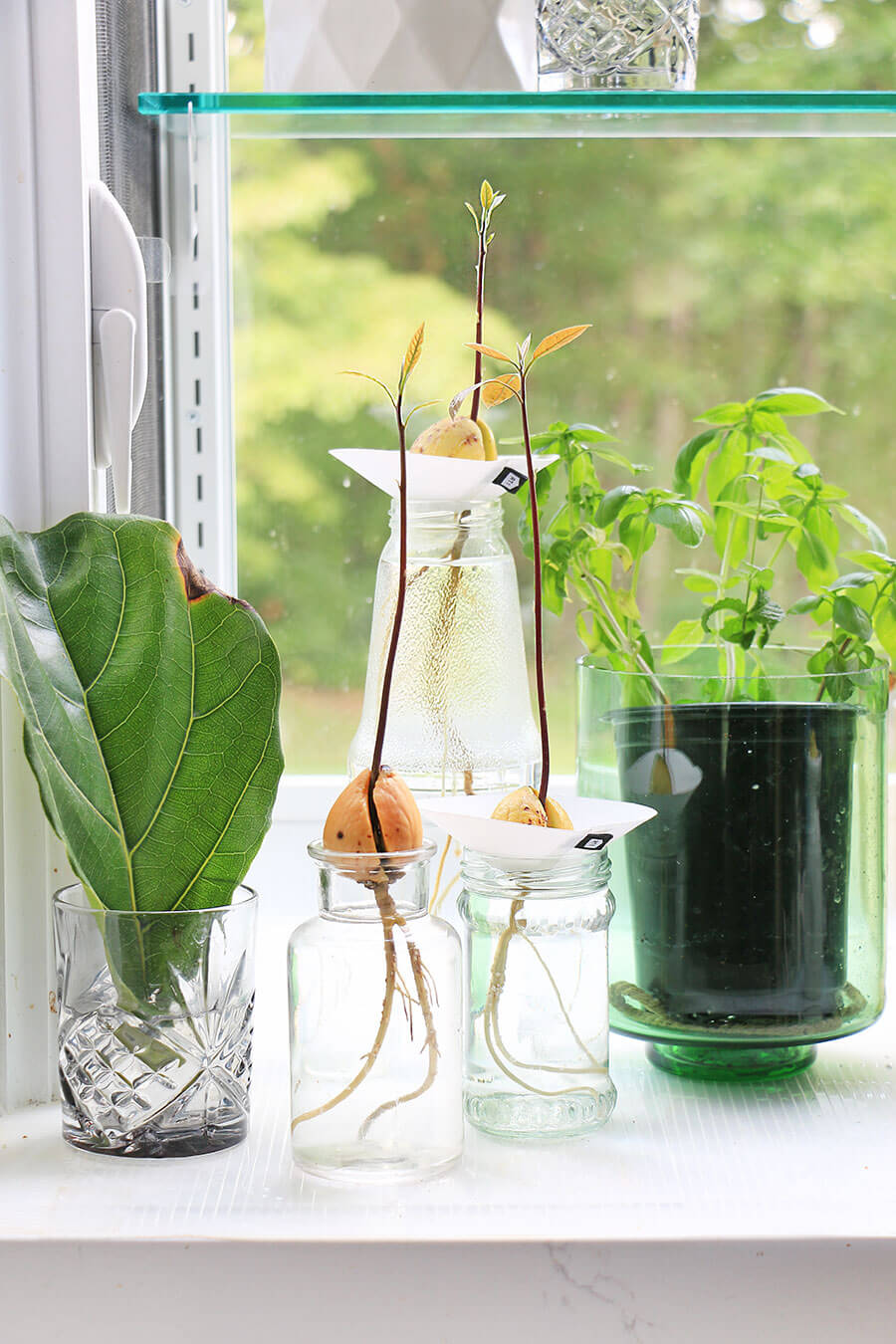 Avocado-plants-with-root-and-small-shoots