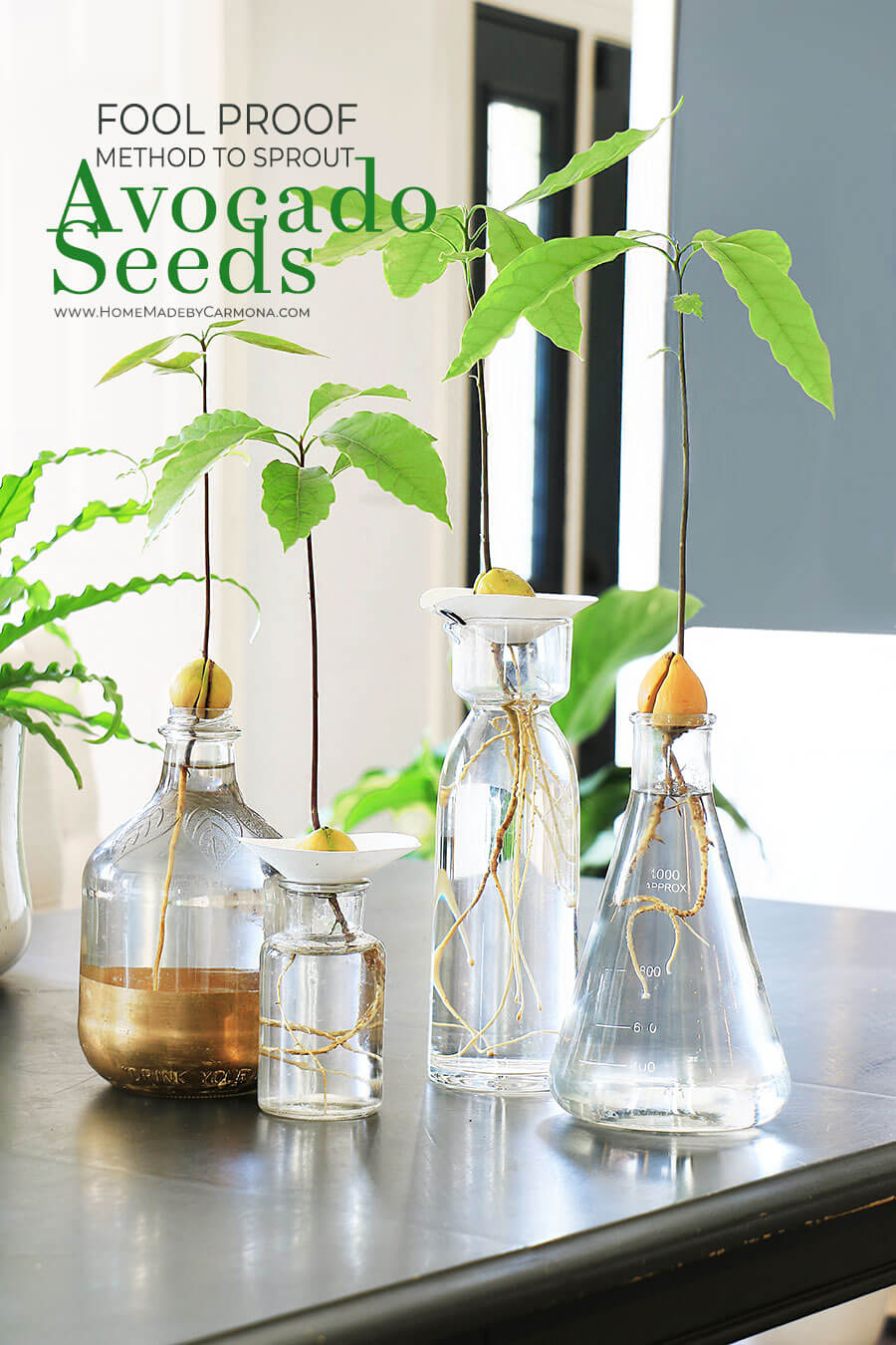 Fool-Proof-Method-to-Sprout-Avocado-Seeds