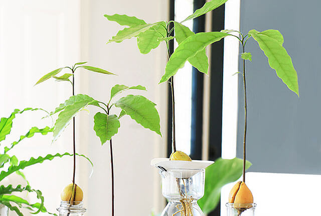Sprouting-Avocado-Plants-FI