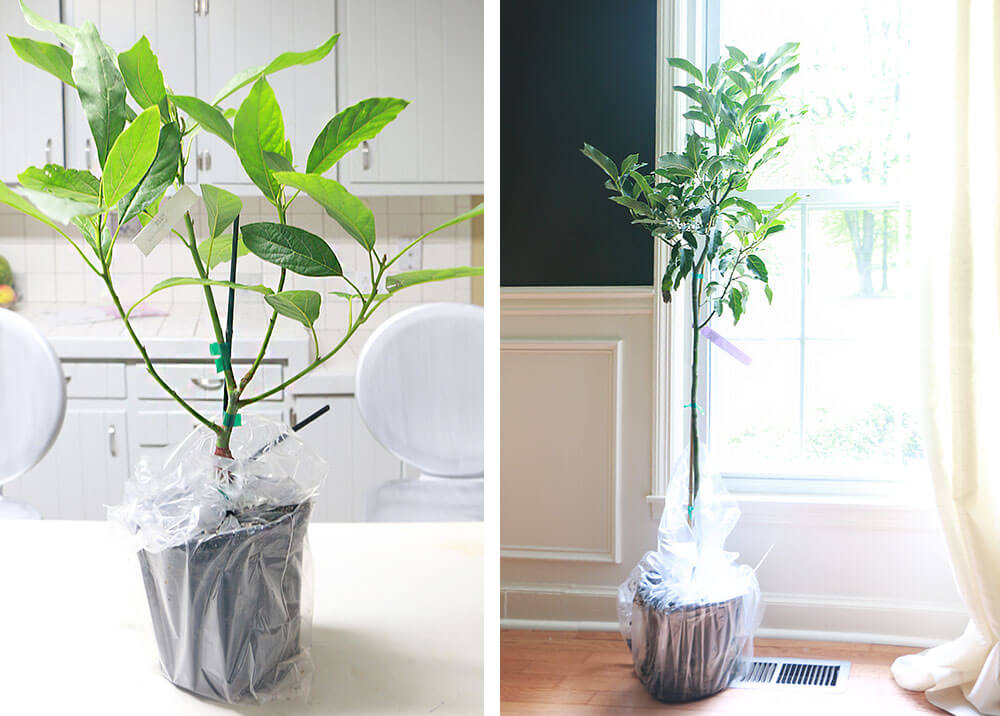 Avocado-trees-from-grafts